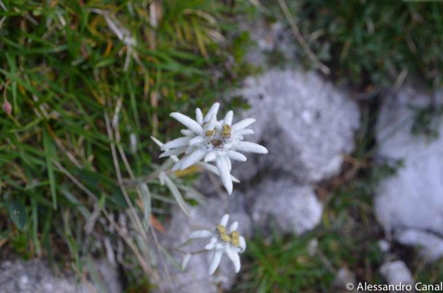 stella alpina ferrata costantini